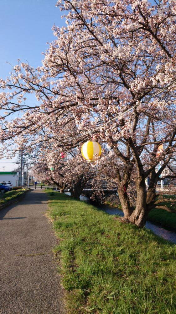 村山駅西でも桜の3分咲き:画像