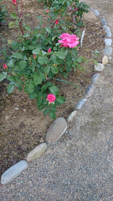 東沢公園のバラの花咲き始めました!:画像