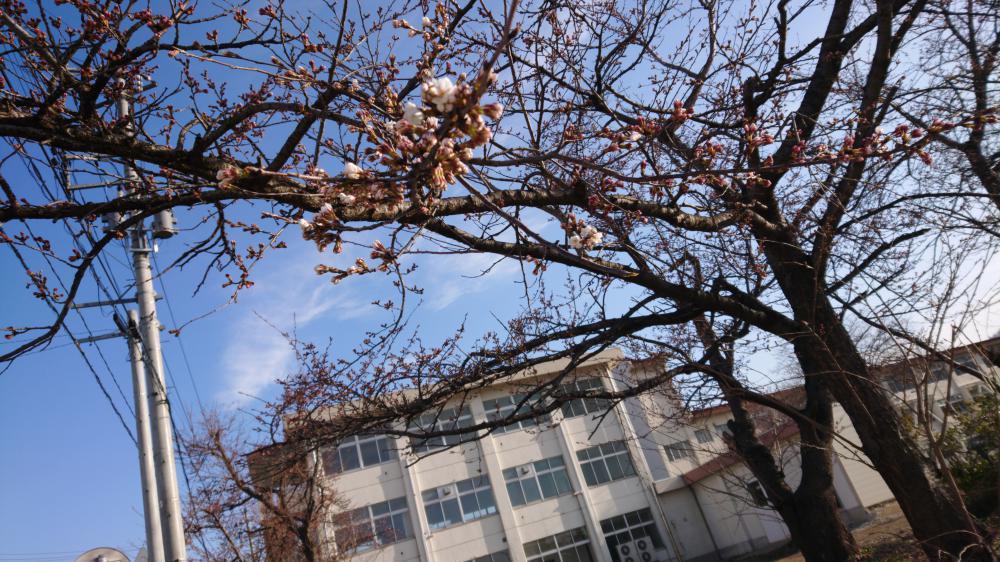 桜前線北上中:画像