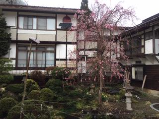 枝垂れ桜  #127800; 2020