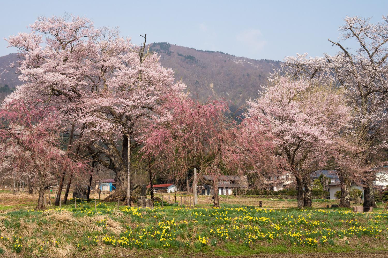 2018/4/20 桜の開花状況:画像