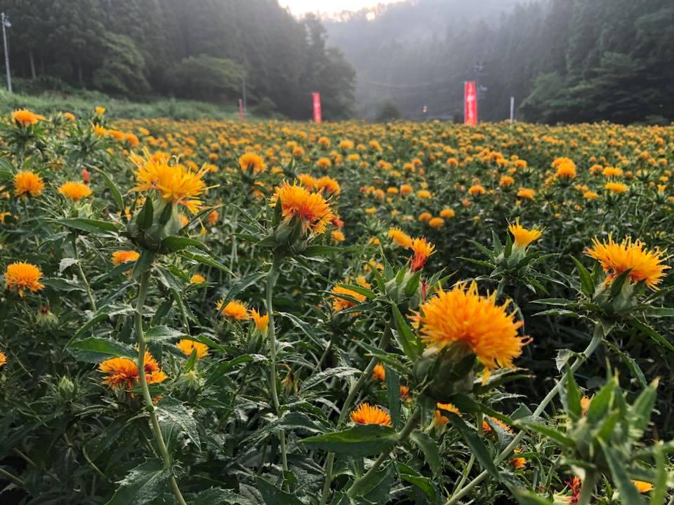 第26回白鷹紅花まつり中止のお知らせ:画像