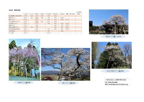 4月12日(月)桜開花情報:画像