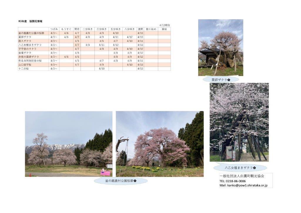 4月13日(火)桜開花情報:画像