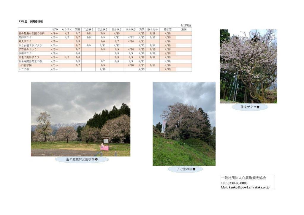 4月19日(月)桜開花情報:画像