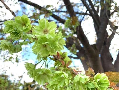 御衣黄桜 開花しました:画像