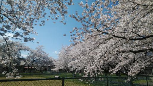 2020/04/14 08:01/☆山形市内!満開の桜(*⌒▽⌒*)☆