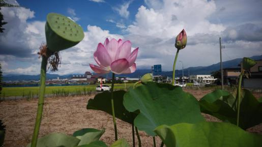 2020/09/13 06:10/☆晴れ渡る日の蓮の花(*^o^*)☆