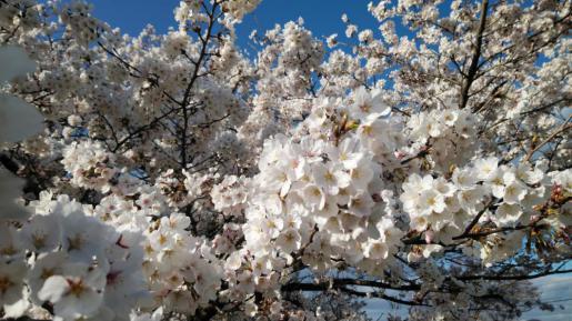 2021/04/07 12:32/☆今年も変わらず桜は、満開!(^o^)☆
