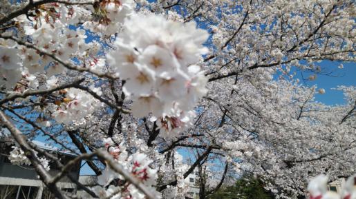 2021/04/13 08:10/☆いよいよ  桜のラスト シーンに突入(^o^)☆
