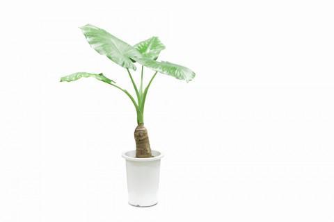 【家づくりコラム 観葉植物vol.1】:画像