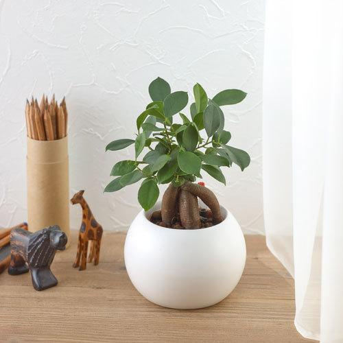観葉植物vol.3 ガジュマルの木