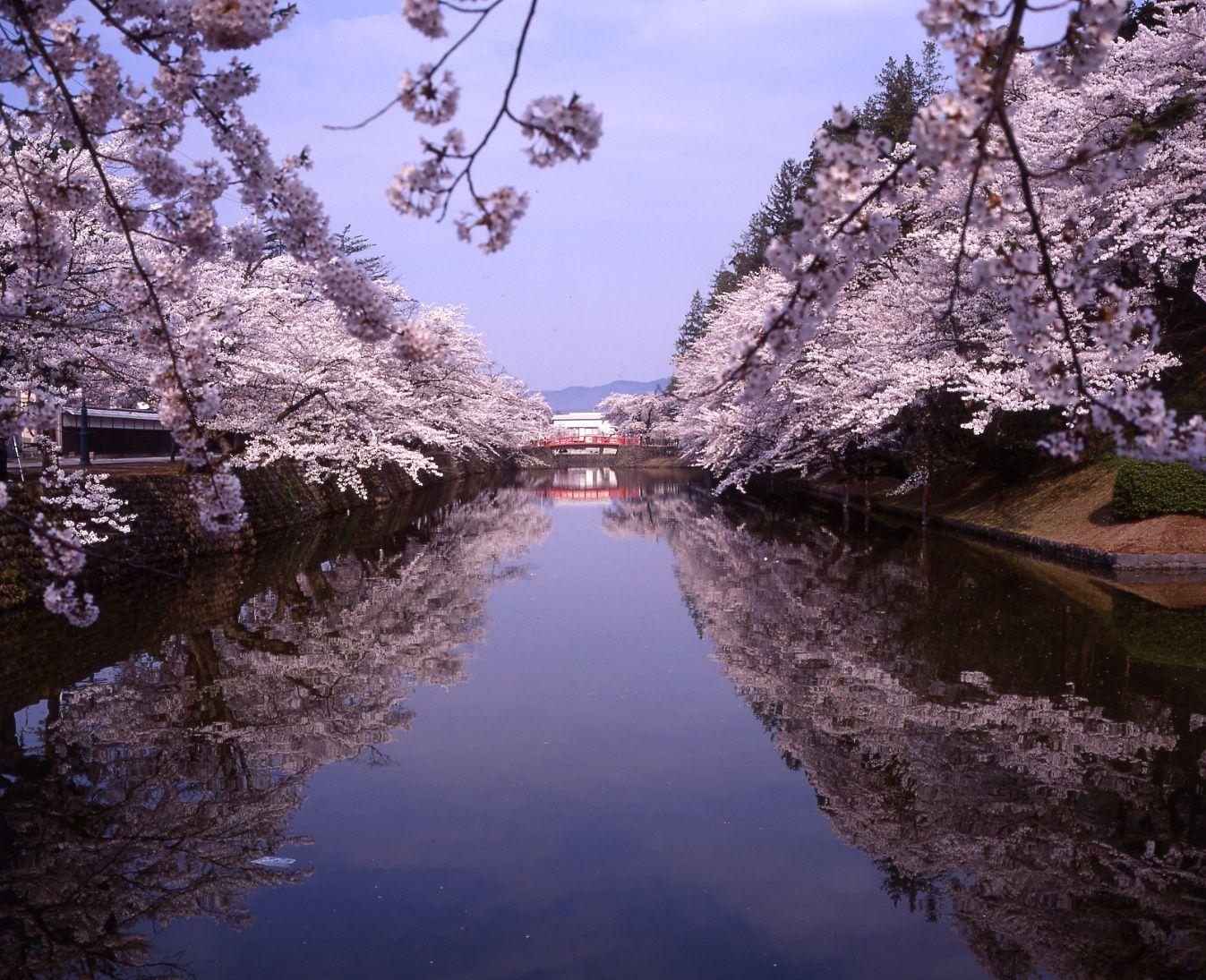 2021年松が岬公園(上杉神社)桜情報:画像