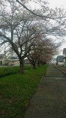 村山の桜今週末見頃です!:画像