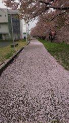 桜のジュウタン:画像
