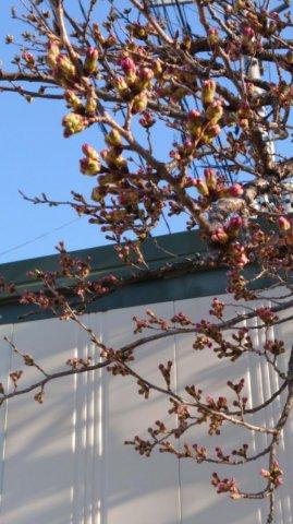 桜ももうすぐ咲きます:画像