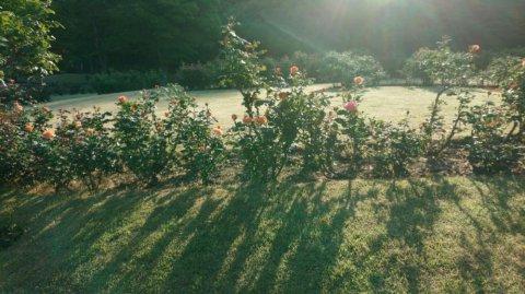バラの花2:画像