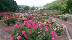 東沢公園のバラの花見頃です!:画像
