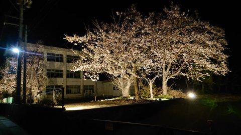 夜桜3分咲き:画像