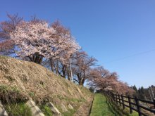 スポーツ公園の桜 3分咲き:画像