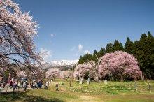 2018/4/19 桜の開花状況:画像