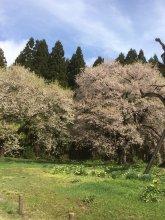 【令和元年5月1日 古典桜開花情報】:画像
