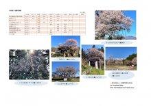4月11日(日)桜開花情報:画像