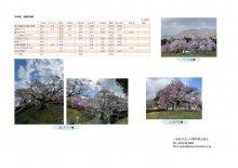 4月18日(日)桜開花情報:画像