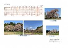 4月20日(火)桜開花情報:画像