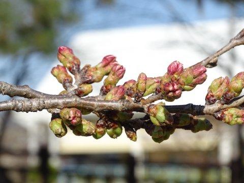 2020-4-3 松が岬公園の桜:画像