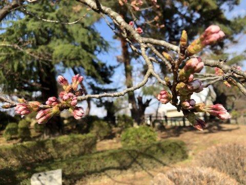 2020-4-7 上杉神社の桜:画像