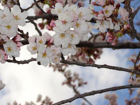 2020-4-14 松が岬公園の桜:画像