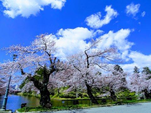 2020-4-16 松が岬公園の桜:画像