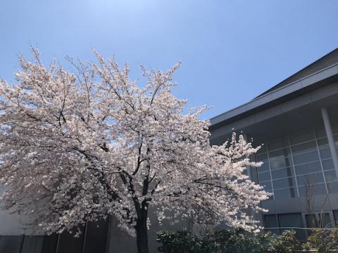2020-4-16 「伝国の杜」の桜:画像