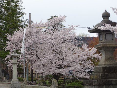 2020-4-23 上杉神社の桜:画像