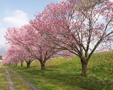 台ノ沢の桜