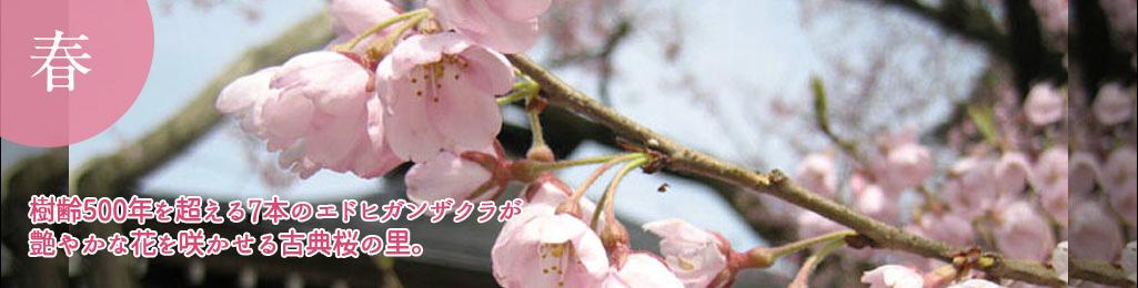 樹齢500年を超える8本のエドヒガンザクラが艶やかな花を咲かせる古典桜の里。