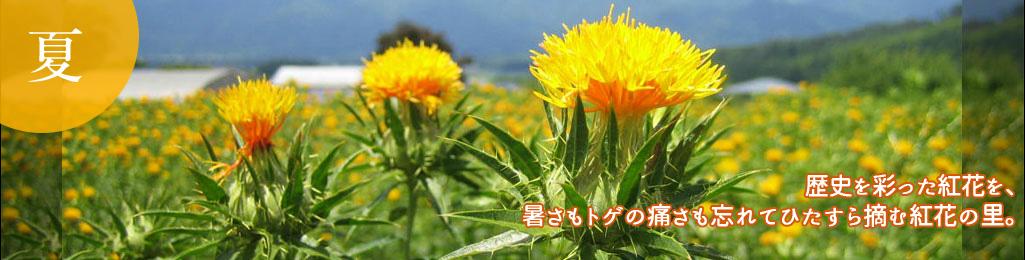 歴史を彩った紅花を、暑さもトゲの痛さも忘れてひたすら摘む紅花の里。