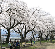 スポーツ公園の桜