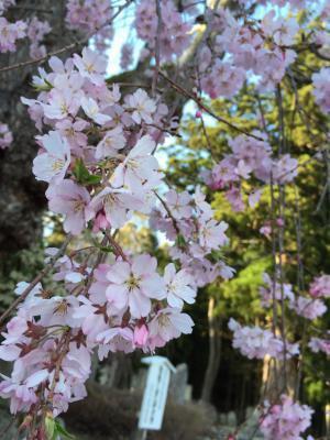 あと1ヶ月ちょっとで桜の時期ですね!!!!!:画像