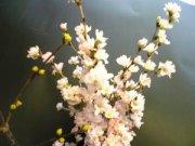 啓翁桜をいただきました!:画像