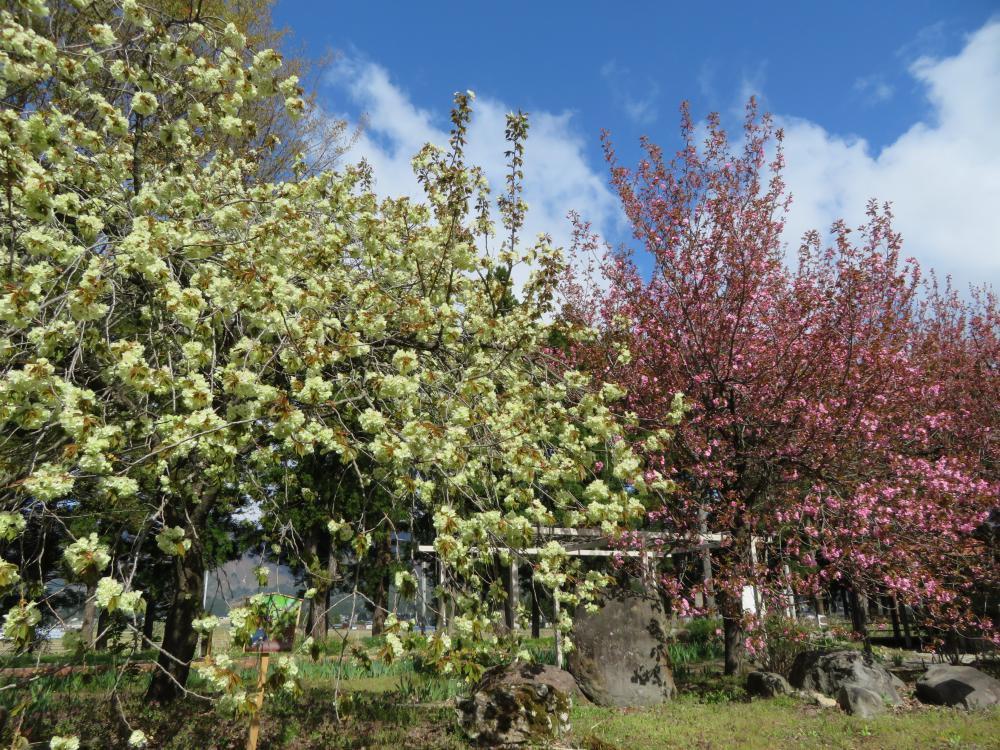 鬱金桜と関山が見頃です :画像