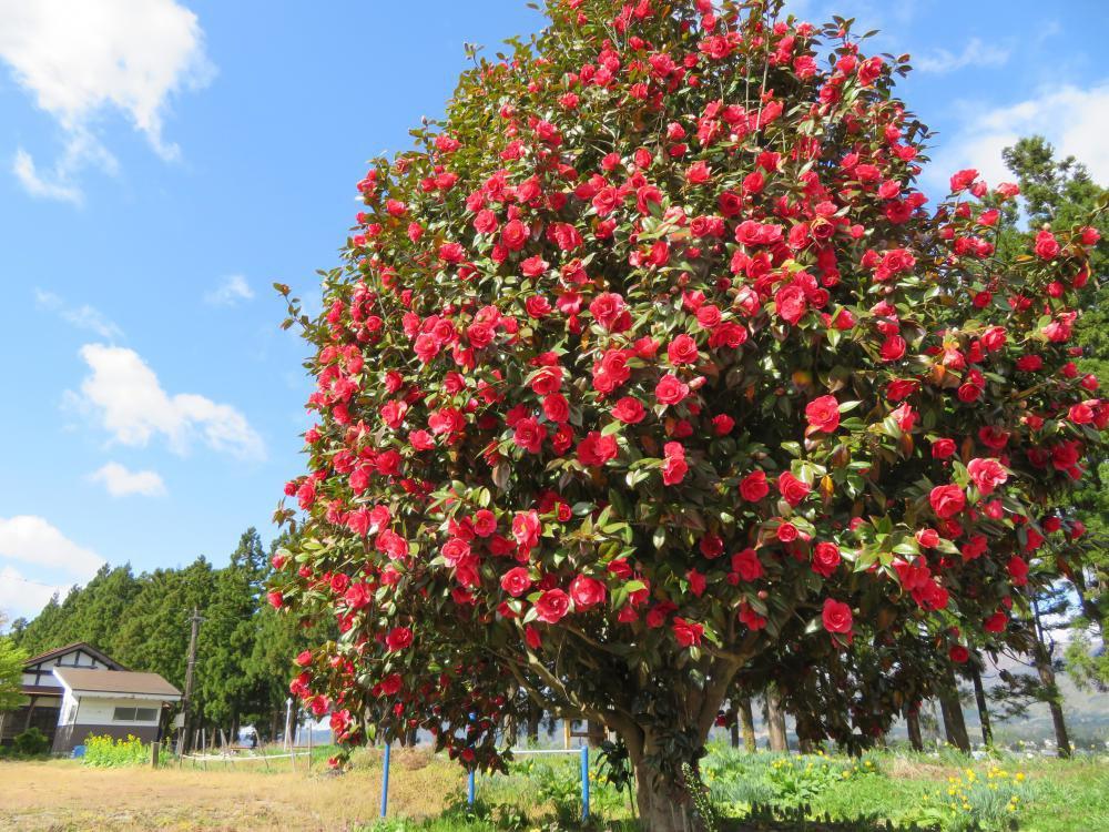椿の花も咲いてます:画像
