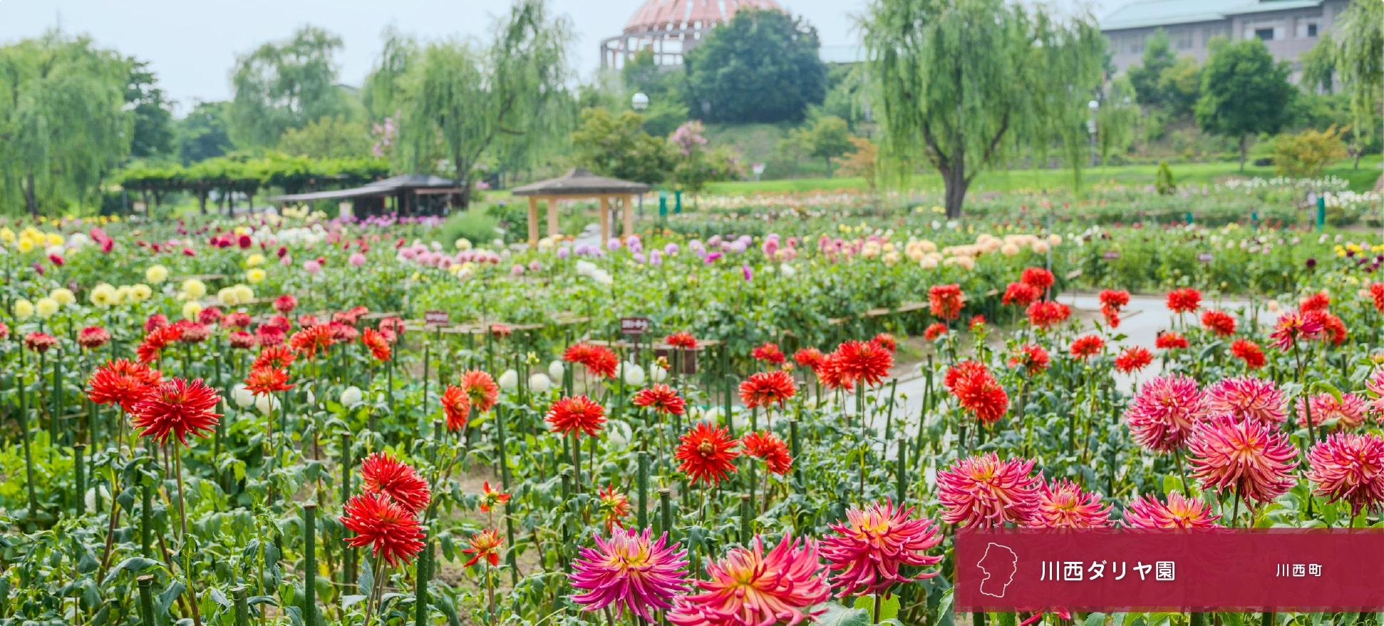 川西大麗花園
